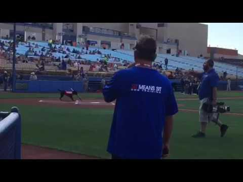 Baseball Game Features Intelligent Bat-Fetching Dog