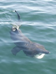 A basking shark feeding. They are the second-largest shark.