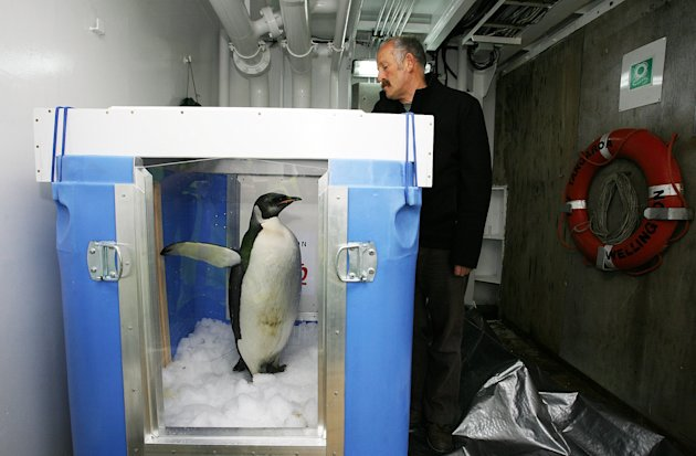 "WELLINGTON, NEW ZEALAND - AUGUST 29:  The emperor penguin named ""Happy Feet"" stands in his container next to Gareth Morgan, who helped fund the penguin's electronic tracking equipment, aboard NIWA's research vessel Tangaroa, at Burnham Wharf on August 29, 2011 in Wellington, New Zealand. The penguin was found at Peka Peka beach on the Kapiti Coast in June with concerns for his health. Wellington Zoo intervened and nursed the penguin back to good health. He will be released into the Southern Ocean, complete with GPS tracking device, from NIWA's research vessel four days into a month-long trip to the Campbell Islands, 700km south of New Zealand.  (Photo by Hagen Hopkins/Getty Images)"