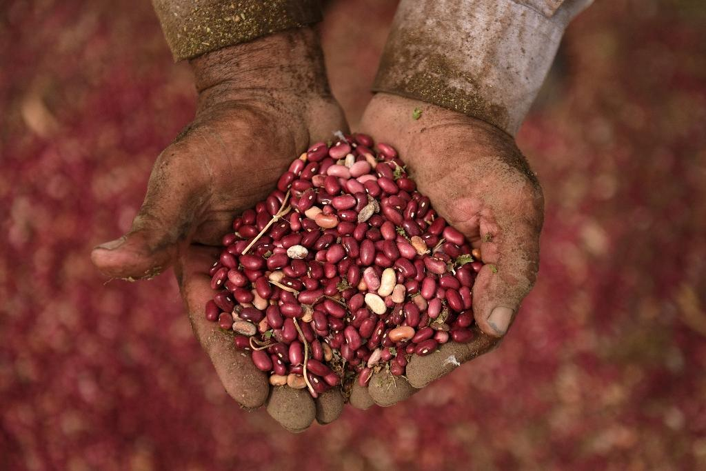 Central America tests drought-resistant 'miracle' beans