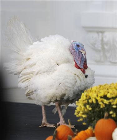 "The National Thanksgiving Turkey, ""Popcorn"", is seen before being pardoned by U.S. President Obama on the North Portico of the White House in Washington"