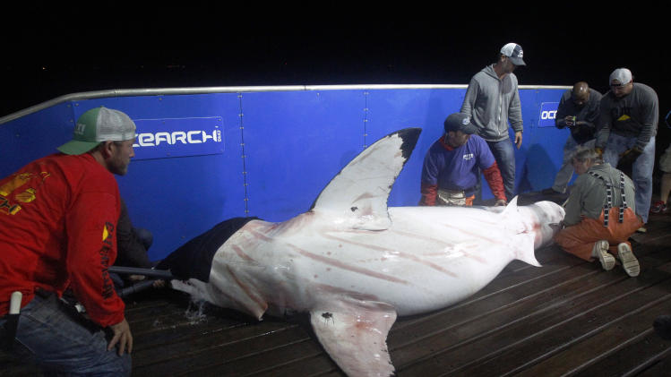 In this Sept. 13, 2012, photo, scientists collect blood and tissue samples from a female great white shark on the research vessel Ocearch in the Atlantic Ocean off the coast of Chatham, Mass. Before release, the nearly 15-foot, 2,292-pound shark was named Genie for famed shark researcher Eugenie Clark.  The Ocearch team baits the fish and leads them onto a lift, tagging and taking blood, tissue and semen samples up close from the world's most feared predator. The real-time satellite tag tracks the shark each time its dorsal fin breaks the surface, plotting its location on a map. (AP Photo/Stephan Savoia)