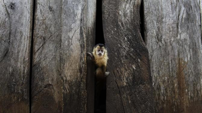 """In this Nov. 14, 2012 photo, a titi monkey peeks through a wall at the home of the Aguero and Romero family in the Carro Cue settlement near Curuguaty, Paraguay. The family's son De Los Santos was killed and daughter Lucia was imprisoned during the """"Massacre of Curuguaty"""" on June 15 when negotiations between farmers occupying a rich politician's land ended with a barrage of bullets that killed 11 farmers and 6 police officers. Most of the occupiers came from Yby Pyta, or """"Red Dirt"""" in the native Guarani, a settlement of wooden shacks that runs along the asphalt highway that carries soy to Brazil.  (AP Photo/Jorge Saenz)"""