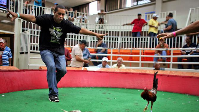 In this Friday, July 6 2012 photo, the owner of an injured gamecock motions to stop a cockfight fight at Las Palmas, a government-sponsored cockfighting club in Bayamon, Puerto Rico. The island territory's government is battling to keep the blood sport alive, as many matches go underground to avoid fees and admission charges levied by official clubs. Although long in place, those costs have since become overly burdensome for some as the island endures a fourth year of economic crisis.  (AP Photo/Ricardo Arduengo)