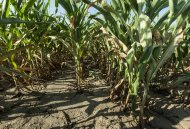 A corn crop stands severely stunted at Mineral Point, Wis. on Monday 30 July, 2012 as the result of a punishing drought that has affected much of the USA&#39;s Midwest. (AP Photo/Sitthixay Ditthavong)