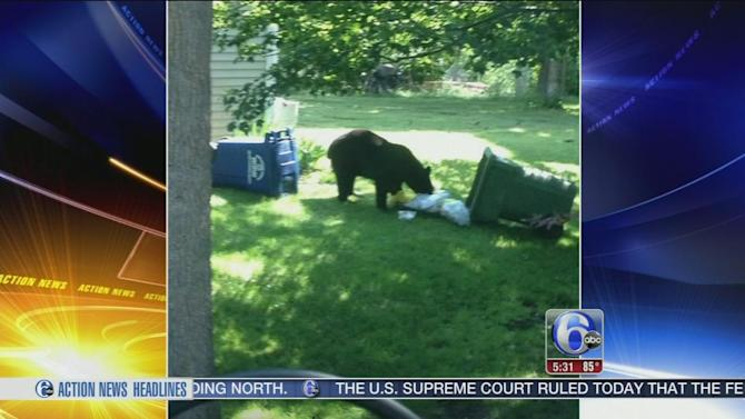 Black bear on the move in South Jersey