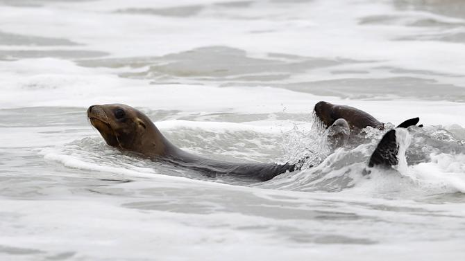 Some of the 14 rescued sea lions swim in the water after being released  back to their ocean home by the Pacific Marine Mammal Center in Laguna Beach