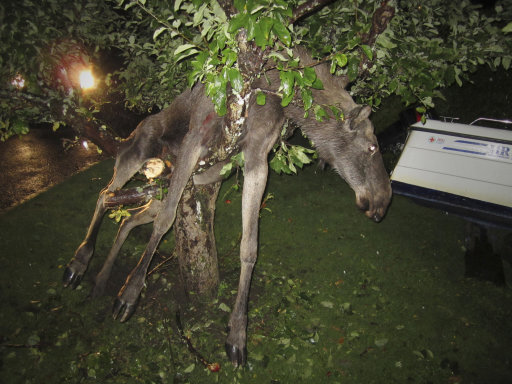 A seemingly intoxicated moose is discovered entangled in an apple tree by a stunned Swede in Goteborg, Sweden late Tuesday Sept. 6 2011. Per Johansson, 45, says he heard a roar from his vacationing neighbor's garden in southwestern Sweden late Tuesday and went to have a look. There, he found a female moose kicking about in the tree. The animal was likely drunk from eating fermented apples. (AP Photo/Per Johansson)  SWEDEN OUT