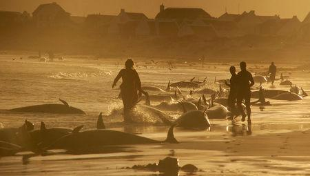 Biologists investigate deaths of 82 stranded dolphins in Florida