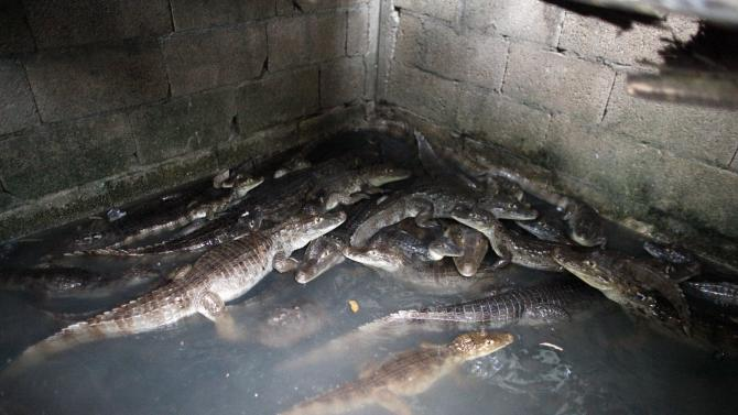 In this Dec. 5, 2012 photo, caimans are kept in a holding tank in the backyard of the Montanez family home before being killed to sell for human consumption in the Los Naranjos neighborhood of Vega Baja, Puerto Rico. Caimans are native to Central and South America, but were introduced to Puerto Rico by stores such as Woolworth's that sold baby caimans the size of lizards as pets during the 1960s and 70s, Atienza said. When the caimans began to grow, people released them into the wild, where females rapidly reproduced, laying up to 40 eggs at a time. (AP Photo/Ricardo Arduengo)