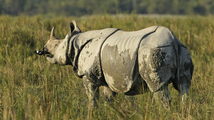 "In this Saturday, Dec. 1, 2012 photo, a one-horned rhinoceros stands inside the Kaziranga National Park, a wildlife reserve that provides refuge to more than 2,200 endangered Indian one-horned rhinoceros, in the northeastern Indian state of Assam. Even in this well protected reserve, where rangers follow shoot-to-kill orders, poachers are laying siege to ""Fortress Kaziranga,"" attempting to sheer off the animals' horns to supply a surge in demand for purported medicine in China that's pricier than gold. A number of guards have been killed along with 108 poachers since 1985 while 507 rhino have perished by gunfire, electrocution or spiked pits set by the poachers, according to the park. (AP Photo/Anupam Nath)"