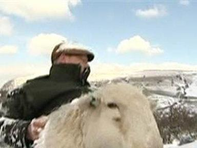 Farmers Rescue Sheep from 2 Feet of Snow