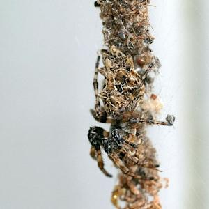 Smart Spiders Learn Best Way to Snag Prey?