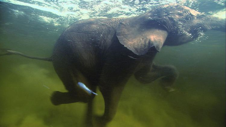 Elephants swimming, Okavango Delta, Botswana, as seen on the 'Pole to Pole' episode of Planet Earth.