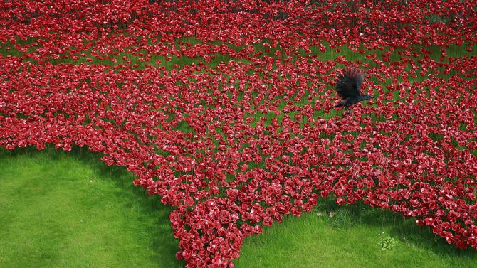 "A raven flies over the art installation titled ""Blood Swept Lands and Seas of Red"" at the Tower of London"