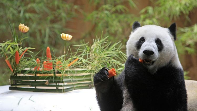 Liang Liang, formerly known as Feng Yi, a female giant panda from China, eats carrot in celebration of its 8th birthday, at the Giant Panda Conservation Center at the National Zoo in Kuala Lumpur, Malaysia, Saturday, Aug. 23, 2014. The two giant pandas on loan to Malaysia from China for 10 years to mark the 40th anniversary of the establishment of diplomatic ties between the two countries. (AP Photo/Lai Seng Sin)