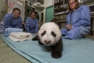 The San Diego Zoo&#39;s newest panda cub crawls during his exam on Oct. 18.