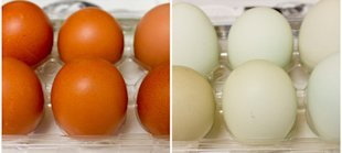 Find out more about these lovely, colored eggs
