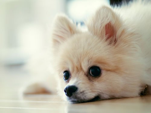 Pomapoo (Pomeranian + Poodle)