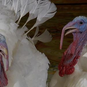 What it takes to get a turkey Presidential pardon