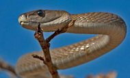 Deadly Black Mamba Venom Could Kill Pain