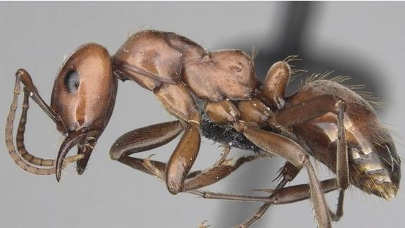 5 New Species of 'Slavemaker' Ants Discovered