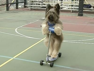 Forget Fetch, Norman the Dog Rides a Scooter