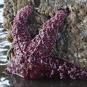 Searching for Young Sea Stars After Mass Die-off