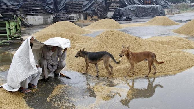 Farmers cover themselves under a plastic sheet as dogs walk past piles of grains after a downpour at a wholesale grain market in the northern Indian city of Chandigarh