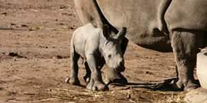 Baby white rhino 'sign of hope'