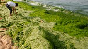 Beach lettuce turns sea completely green