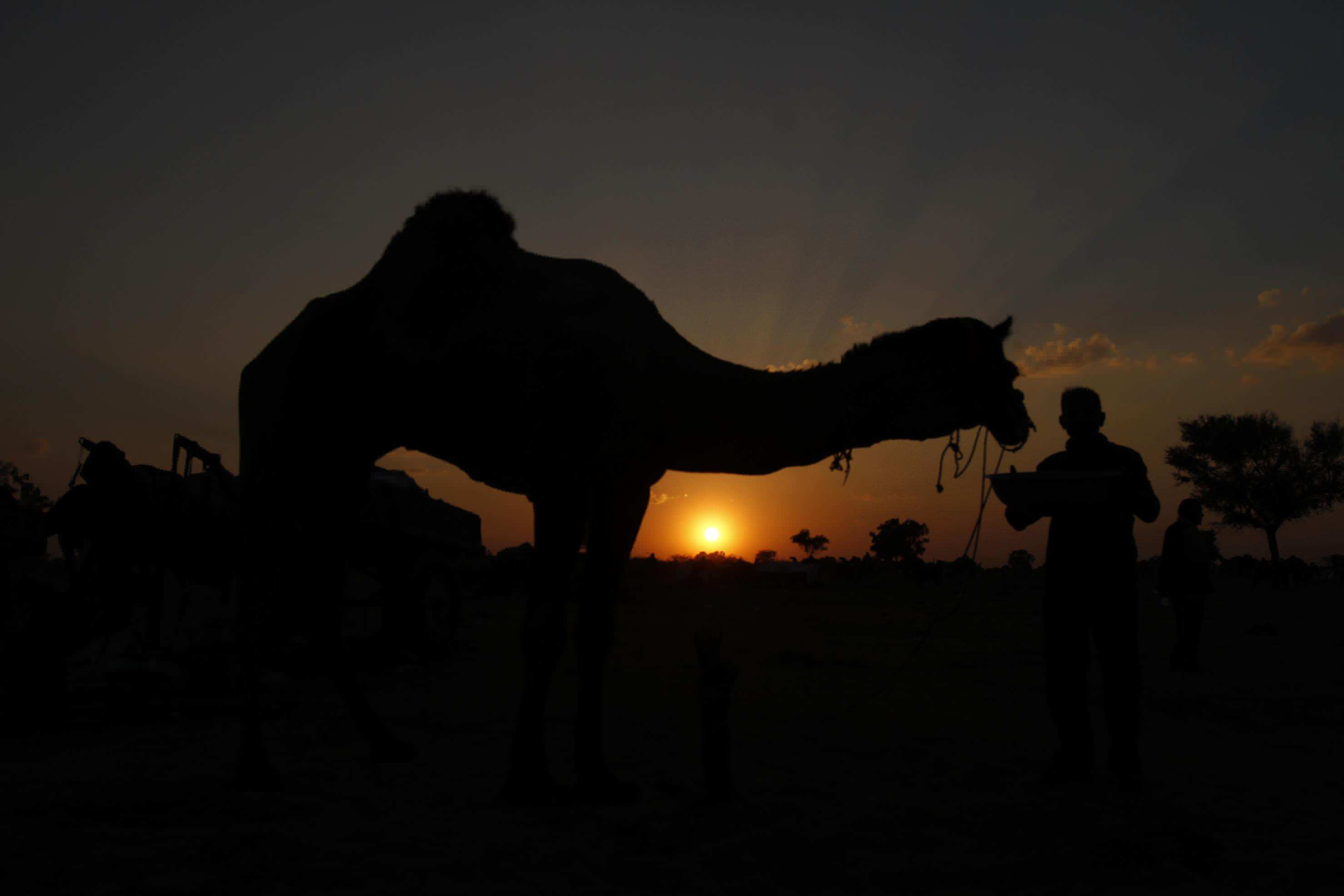 An Indian herder with his camel. Feb. 7, 2014.  (Rajesh Kumar Singh/AP)