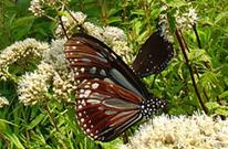 2013陽明山蝴蝶季