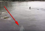 Ninja seal faces off with killer whale, performs skillful last-minute dodge