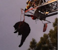 This image provided by the Colorado Springs Fire Department shows a bear being rescued from a tree after being tranquilized May 19, 2013 in Colorado Springs, Colo. The bear weighed between 150 and ...