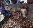 In this photo taken Friday, May 3, 2013. a woman peels cassava to make cassava flour in a Market in Lagos, Nigeria. Scientists say a disease destroying entire crops of cassava has spread out of East ...
