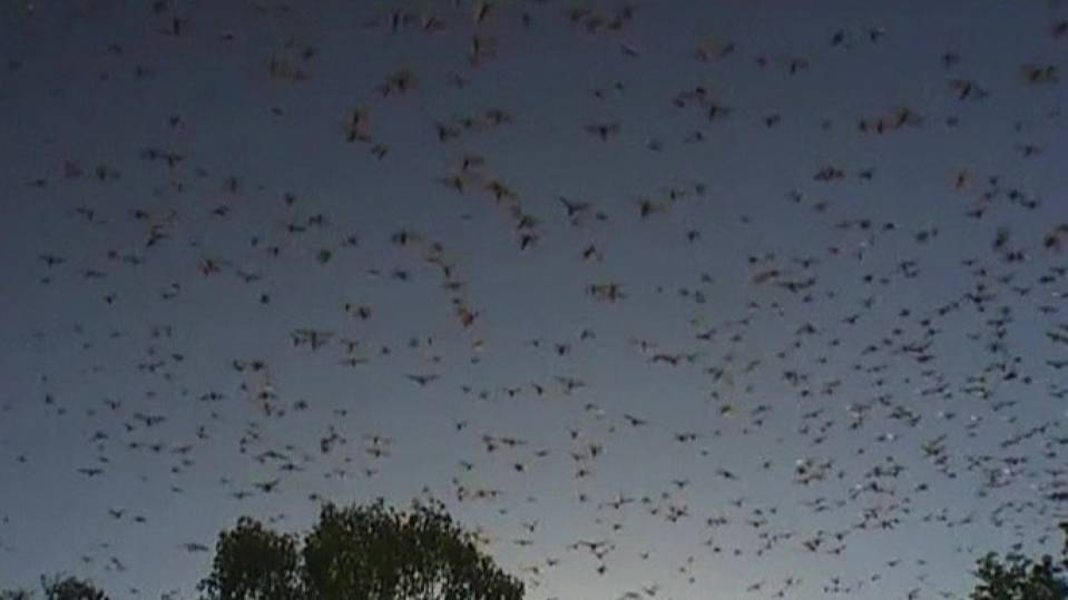 A colony of bats in Queensland