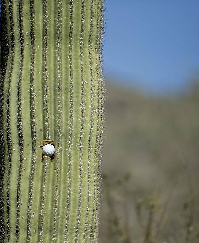 A golf ball is stuck in a cactus on the 15th hole during the second round of the Match Play Championship golf tournament on Thursday, Feb. 20, 2014, in Marana, Ariz