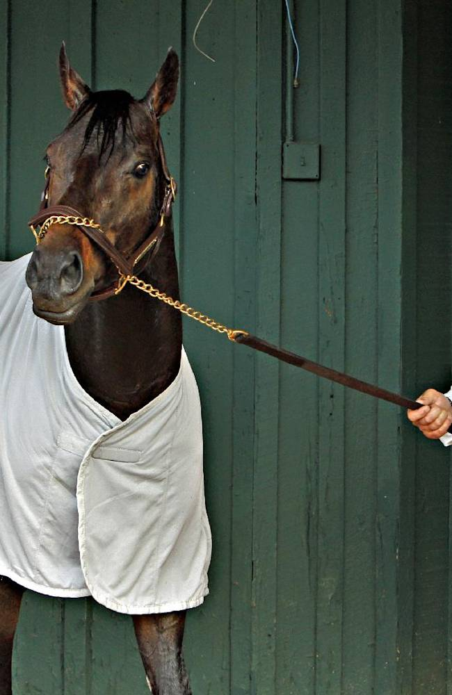 Preakness Stakes hopeful Ride On Curlin stops to watch people outside the stakes barn at Pimlico Race Course in Baltimore, Md., Tuesday, May 13, 2014 as he is walked by trainer Billy Gowan. The Preakness Stakes horse race is scheduled for Saturday
