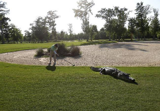 A worker grooms away tracks after an alligator crossed through a sand trap on the 14th hole during the first round of the PGA Tour Zurich Classic golf tournament at TPC Louisiana in Avondale, La., Thursday, April 25, 2013