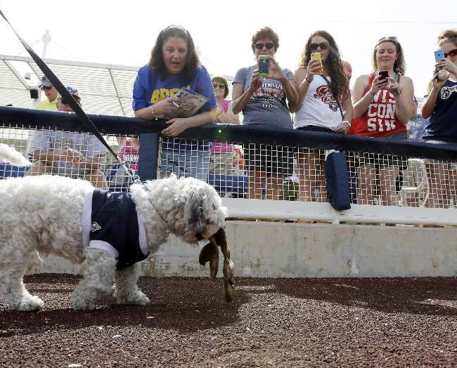 Fans try to get the attention of he Milwaukee Brewers unofficial mascot Hank before an exhibition spring training baseball game against the Oakland Athletics, Wednesday, March 5, 2014, in Phoenix. The team has unofficially adopted the dog and assigned the name