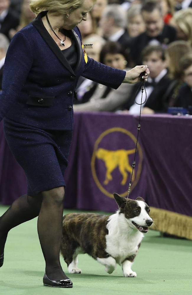 Coco, a Cardigan Welsh corgi, presents in the best in show competition during the Westminster Kennel Club dog show, Tuesday, Feb. 11, 2014, in New York. Sky, a wire fox terrier, won best in show