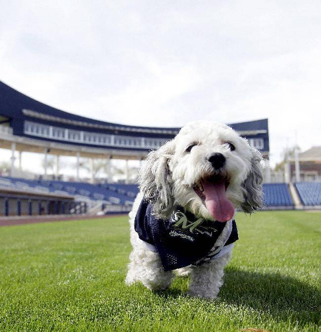 In this Feb. 22, 2014 photo, Milwaukee Brewers mascot, Hank, is at the team's spring training baseball practice in Phoenix. The team has unofficially adopted the dog and assigned the name