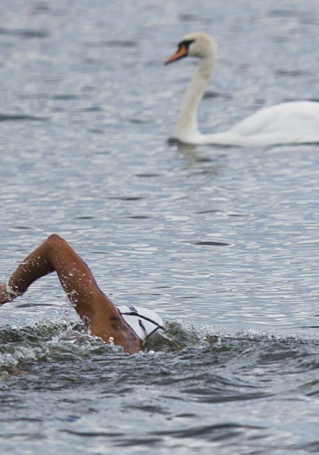 A swan crosses the path of an athlete during the women's 5km open water swim competition at the LEN Swimming European Championships in Berlin, Germany, Thursday, Aug. 14, 2014