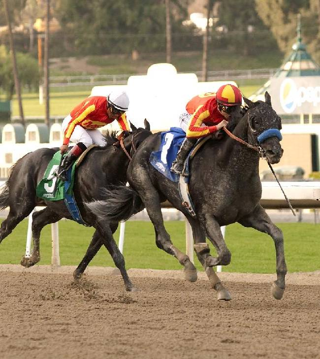 In a photo provided by Benoit Photo, Shakin It Up and Mike Smith, right, are followed home by stablemate Govenor Charlie with Martin Garcia for victory in the Grade II $200,000 Strub Stakes horse race Saturday, Jan. 18, 2014, at Santa Anita in Arcadia, Calif