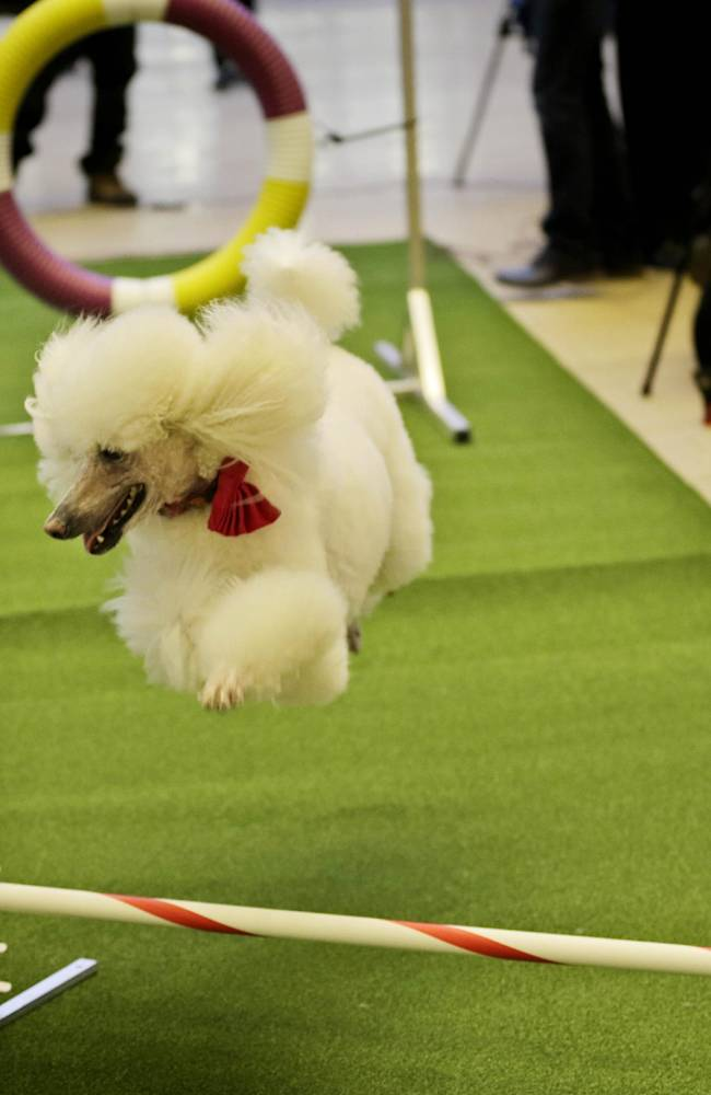 Callia, a standard poodle, demonstrates her mastery of an agility test during a news conference in New York, Wednesday, Jan. 15, 2014. For the first time ever, the Westminster Dog Show will include an agility competition, open to mixed breeds as well as purebred dogs