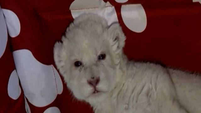 New White Lion Cub Born In Serbia