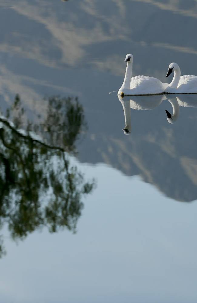 Faux swans are reflected in the pond between the first and 10th hole during the third round of the Humana Challenge golf tournament on the Palmer Private course at PGA West Saturday, Jan. 18, 2014, in La Quinta, Calif. The swans are used to scare away geese