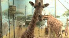 Giraffes Live In Construction Zone