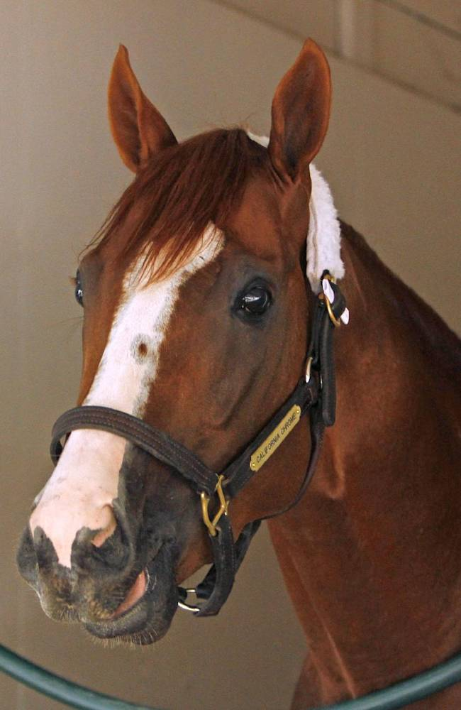 Kentucky Derby winner California Chrome looks out from his stall in the stakes barn at Pimlico Race Course in Baltimore, Md., Monday, May 12, 2014 after his afternoon arrival from Louisville